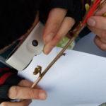 Vinterdendrologi 03.04.19 Corylus